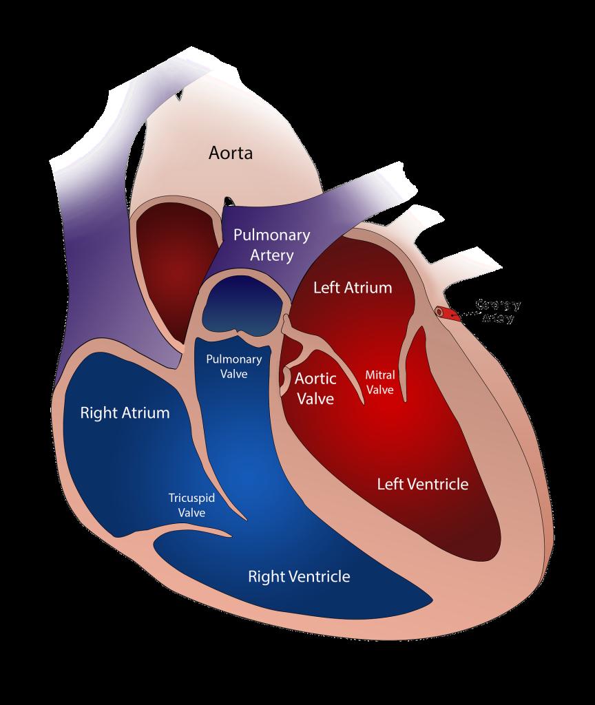 Heart Disease - the heart