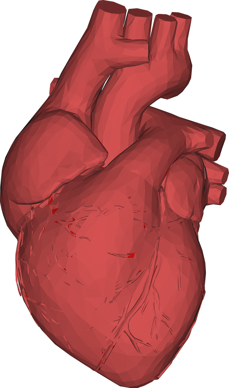 Heart Muscles - Heart Health