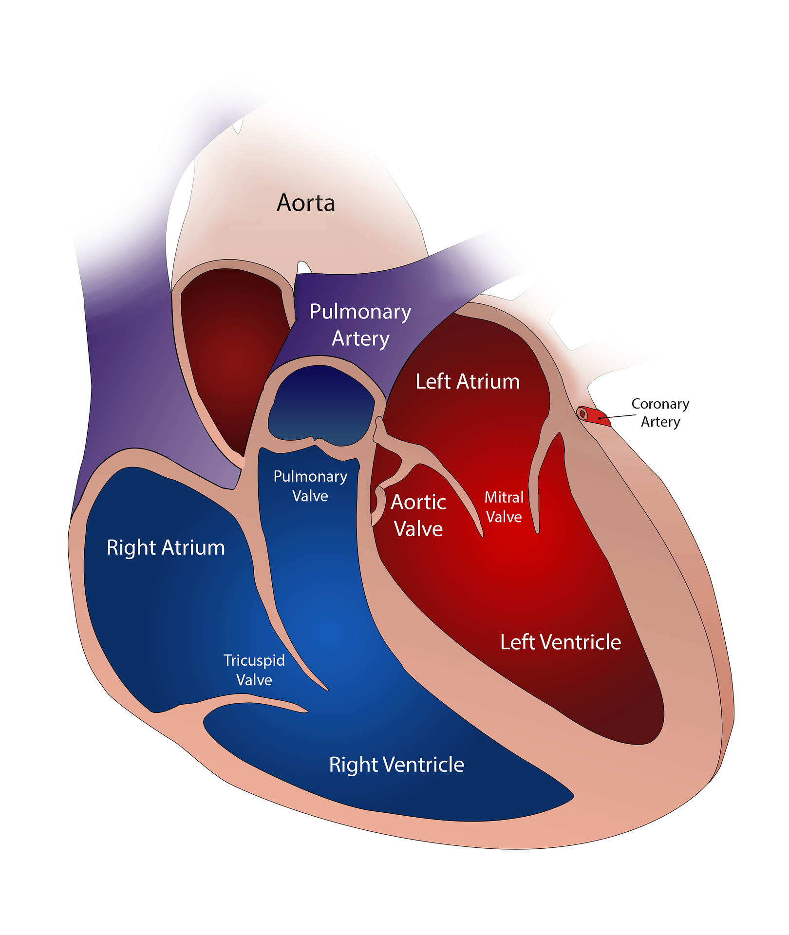 Heart Valves Heart Health